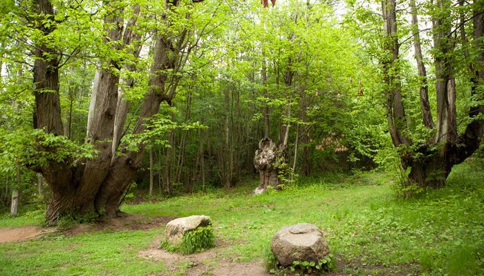 Viladrau, Castanyer 9 branques